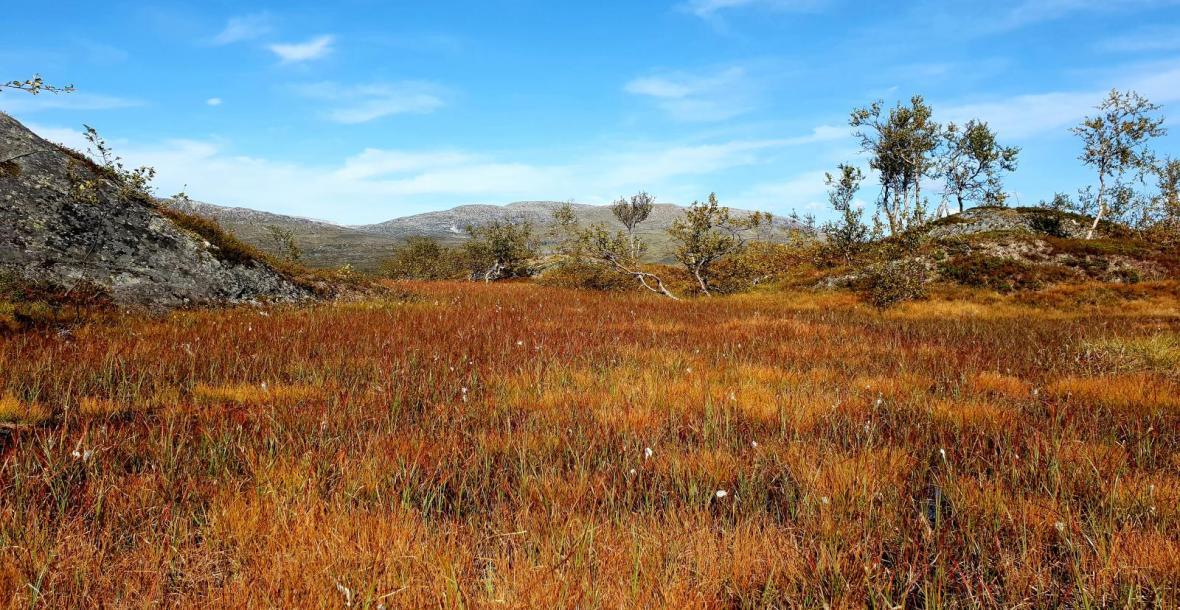 Myr i Børgefjell i høstfarger